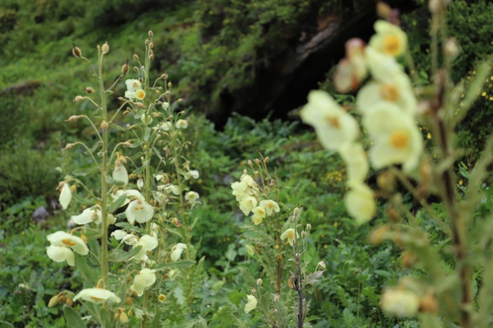 Bhutan Flower Tour, Himalayan Flower Expedition